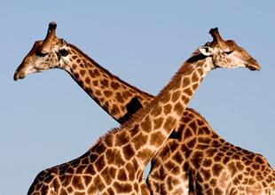 Meet the Animals 16: Giraffe