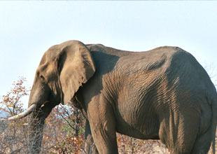 Meet the Animals 19: African Elephant