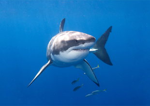 1. Great White Shark