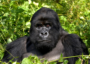 2. Mountain Gorilla