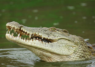 10. Nile Crocodile