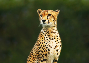 Meet the Animals 4: Cheetah