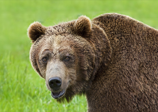 5. Grizzly Bear