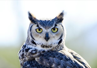 7. Great Horned Owl