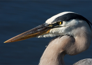 Meet the Animals 11: Great Blue Heron