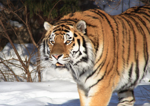 Meet the Animals 13: Siberian Tiger