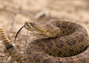 Meet the Animals 14: Rattlesnake