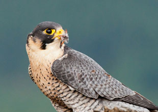 Meet the Animals 15: Peregrine Falcon