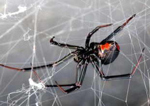 Meet the Animals 17: Black Widow Spider