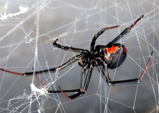 17. Black Widow Spider