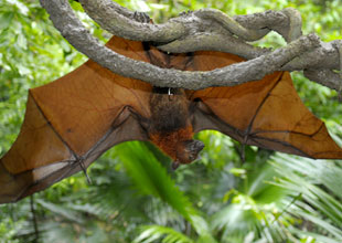 Meet the Animals 18: Flying Fox