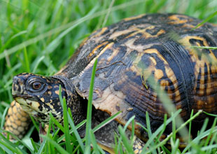 20. Eastern Box Turtle